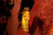 image of seahorse  - Yellow Tigertail Seahorse - JPG