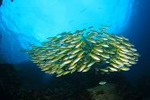 foto of school fish  - School yellow fish - JPG