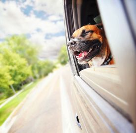 stock photo of boxers  -  a boxer pit bull mix dog riding in a car with her head out of the window - JPG