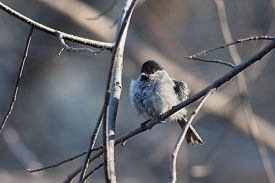 pic of chickadee  - Chickadee perched on a tree branch after swimming in a puddle - JPG
