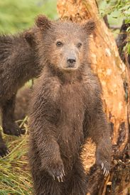 picture of bear-cub  - A brown bear cub is standing on its hind legs in front of a tree - JPG