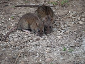 pic of rats  - Brown rats foraging for food on the ground - JPG