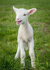 image of suffolk sheep  - a white suffolk lamb a few days old standing on the grass bleating