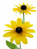 pic of black-eyed susans  - Two black - JPG