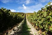 Grape Vines At A Vineyard