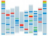 image of electrophoresis  - Illustration of a human dna ideal for scholl information on a clear background - JPG