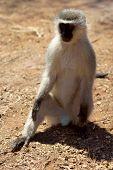 velvet monkeys(Cercopithecus aethiops) location Southern Africa, Botswana