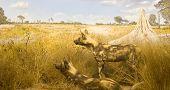African wild dogs, Lycaon pictus, semi desert area ,Kalahari, Botswana, termites funnel nest,