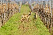 Portrait Of Roe Deer In A Wineyard.