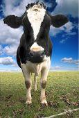 Cow Blue Sky