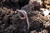Worm In Dirt
