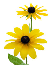 foto of black-eyed susans  - Two black - JPG