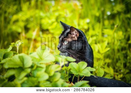 poster of Black Cat In The Green Grass. Kitten Sitting In The Garden, Glade, Meadow.cute Black Cat Lying On Gr
