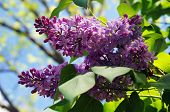 Lilacs And Blue Sky
