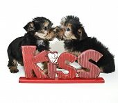 Yorkie Puppies Kissing