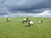 sheeps in sky background