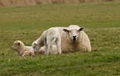 Triplet Lambs With Mom