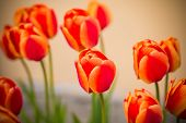 Bright Colorful Tulips In Spring Sun.red Tulips In The Park. Spring Landscape.spring Garden. Bloomin poster