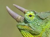 Horned Chameleon Closeup