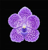 Blue Vanda Orchid Flower