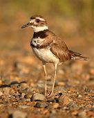 picture of killdeer  - A portrait of a Killdeer on a gravel bed during spring in Colorado - JPG