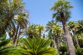 Palm Tree Against The Blue Sky. Subtropical Climate . poster