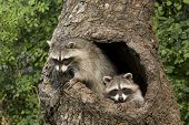 stock photo of raccoon  - Two young raccoons peeking out of their hole in a tree - JPG