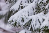 Frozen Pine Branches In The Snow. Tree Branches Under Snow. Snow Fir Tree Branches Under Snowfall. W poster