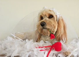 picture of cockapoo  - A cute Cockapoo in wedding outfit with a red heart and a red rose in its mouth - JPG