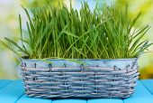 Green grass in basket on wooden table on bright background