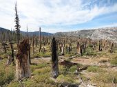 Dead trees after forest fire