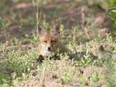 Fox Cub Lying On The Forest Trail.