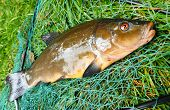 Fish on fishing net. The tench or doctor fish (Tinca tinca). In Central Europe ( Poland and Czech Re