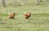 Freerange Chickens
