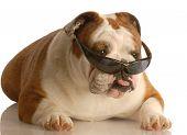 English Bulldog Wearing Sunglasses