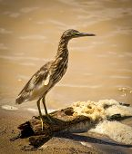 Indian pond heron on perch