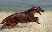 Schnelle Irish Red Setter-Running