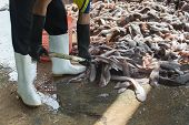 Fishermen Are Scooping Flatfish To Sell Weighing.