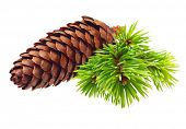 Pine tree branch with cone isolated on white.