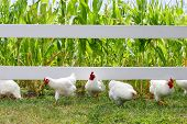 Chickens And Roosters Running Under Fence