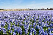 Field With Blue Flowering Hyacinth Bulbs