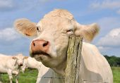 stock photo of charolais  - cow in a meadow rubbing his head on a pole - JPG
