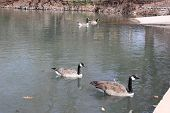 pic of honkers  - Canadian geese swimming towards there food ready to eat it - JPG