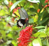 Mail Great Mormon Butterfly Perching On Red Ixora Flower