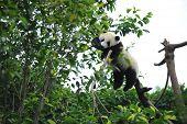 Постер, плакат: Ленивый панда в дереве