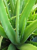 stock photo of aloe-vera  - a fresh green aloe vera plant with many healing properties - JPG