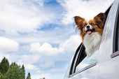 picture of car ride  - Dog poking his head out window of a car - JPG