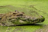 Close-up On Crocodile