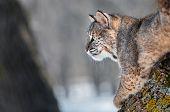 Bobcat (rufus do Lynx) na esquerda olhando Branch