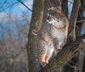 Bobcat (rufus do Lynx) fica na árvore